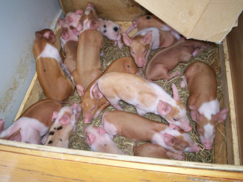 Day Three: Piglets