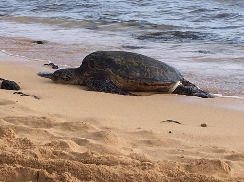 Green turtle (honu) on Kaua'i